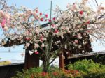横浜市内でお花見ができる公園